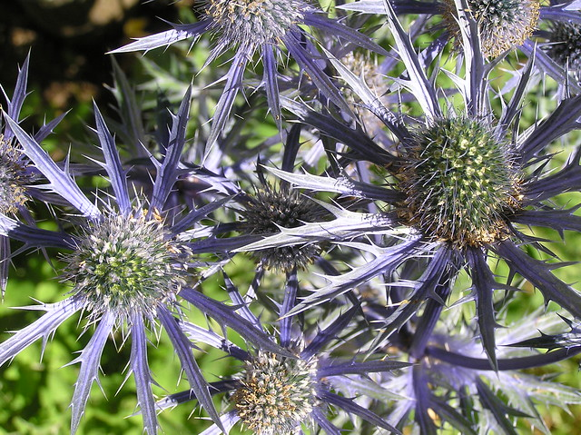 Eryngium x zabelii 'Big Blue'