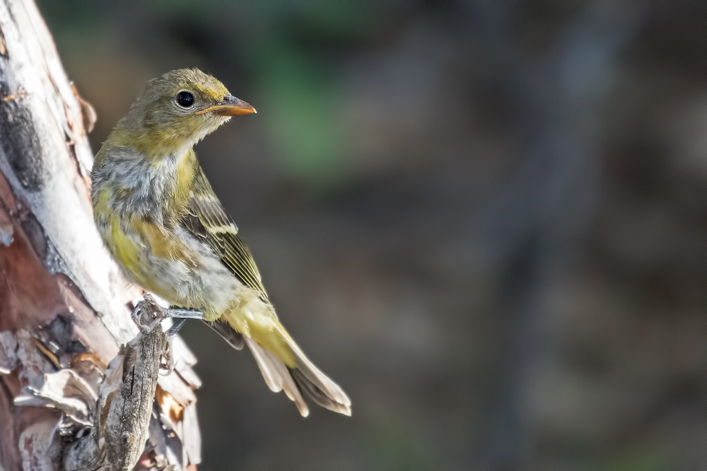 Western-Tanager-137-7D2-070817