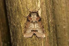 Pseudothyatira cymatophoroides (Tufted Thyatirid Moth) - Hodges # 6237.