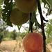 peach tree por ikarusmedia