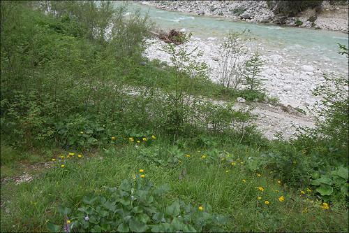 Девясил иволистный (Inula salicina) Автор: Amadej Trnkoczy (Slovenija)