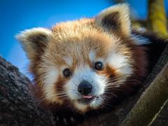 Kleiner Panda...