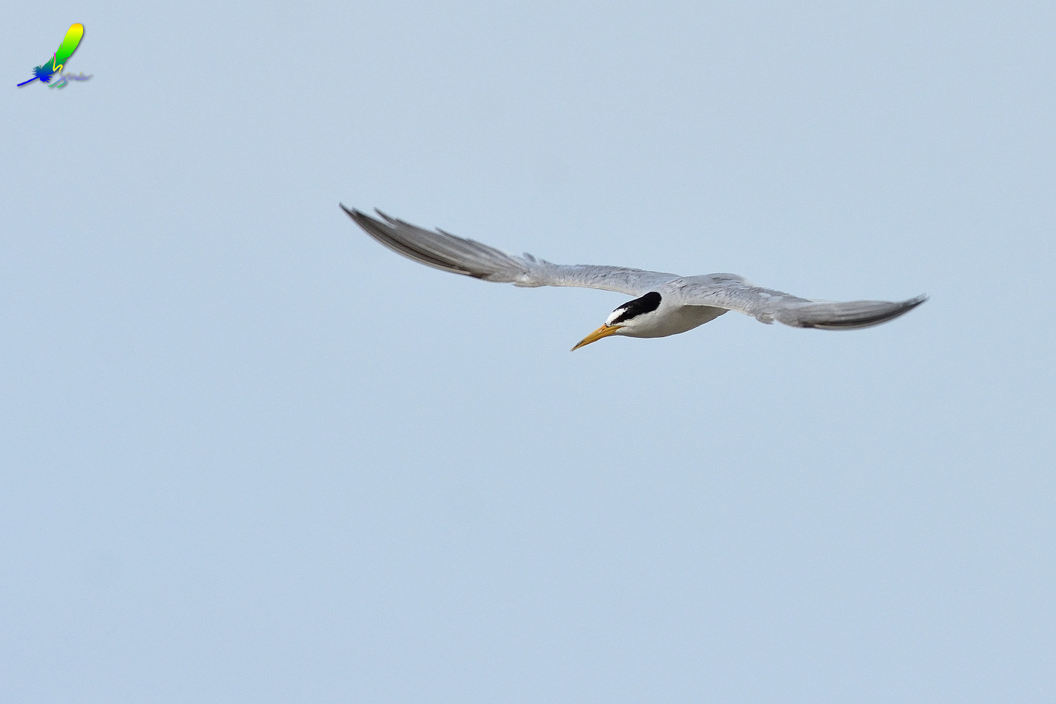 Little_Tern_9166