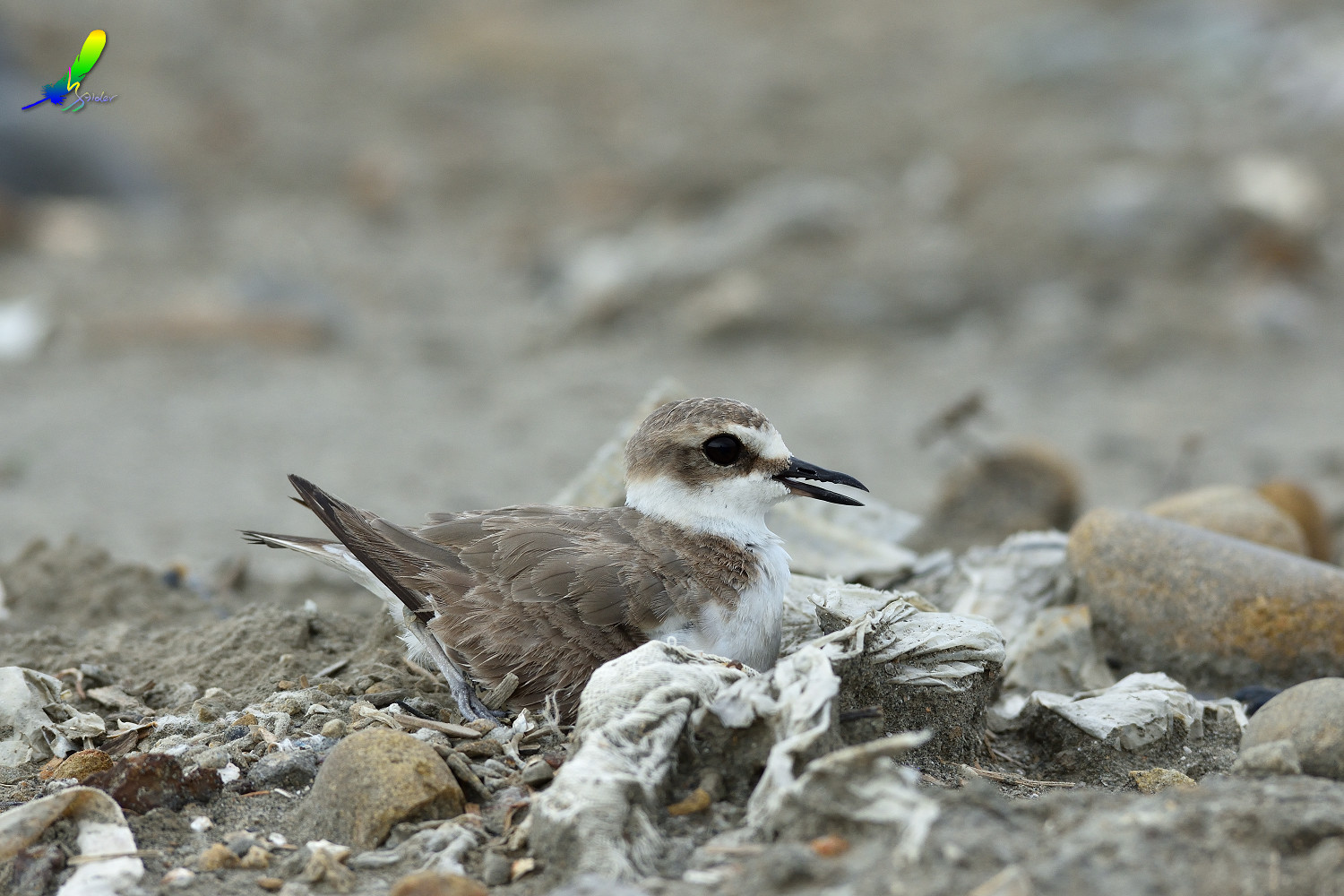 Kentish_Plover_8678