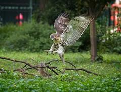 Fledgling hawk and wiley squirrel