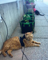 Too hot for a walk. I'll just lie down right here. #hotsummer #walkingmycat #GingerCat #OrangeCat #OrangeTabby #Cat #kitty #OrangeTabbyCat #Cats #kittycat #OrangeCatsRule #CatsOfInstagram #Catstagram #catsagram #?? #?? #? #neko #garfieldcat