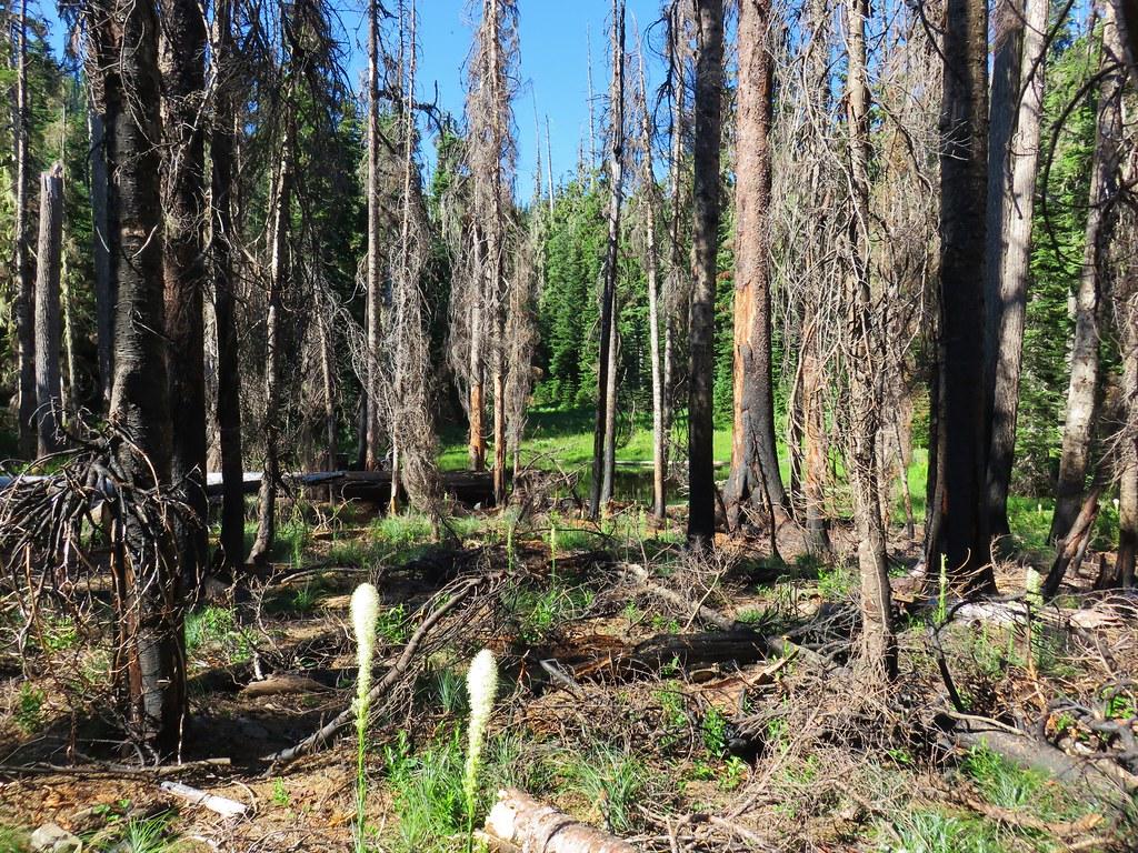 Beargrass and a small burn along the Chucksney Mountain Trail