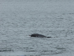 17.06.14 - Chanonry Point