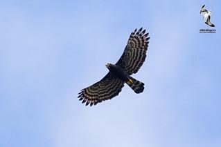 Black Hawk-Eagle - Tyrant Hawk Eagle / Aguila Tirana (Spizaetus Tyrannus)