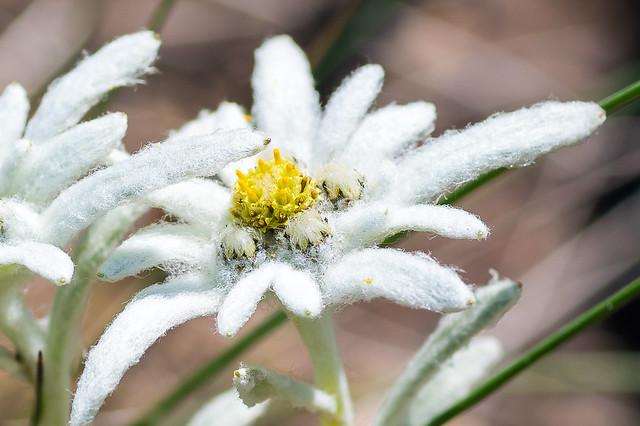 ホソバヒナウスユキソウの花弁・・・フカフカです