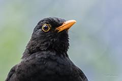 Solsort - Blackbird - Turdus merula - Emdrup -  Danmark-9205