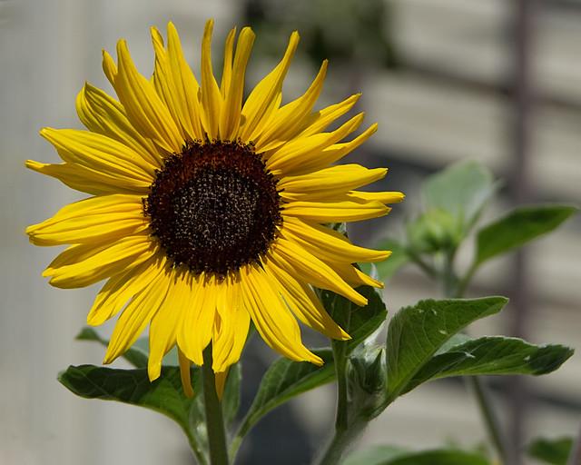 Sunflower, RICOH PENTAX K-3, smc PENTAX-DA 18-135mm F3.5-5.6 ED AL [IF] DC WR