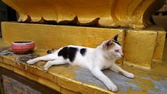 Temple cat - Wat Ounalom