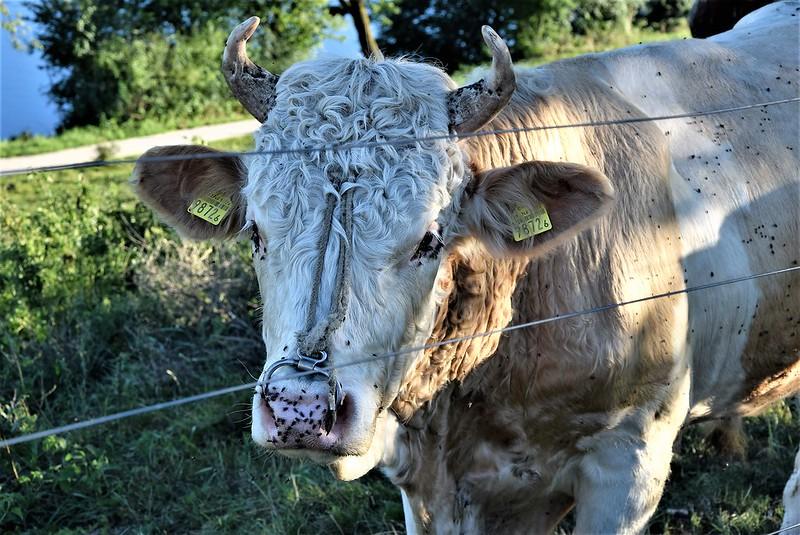 Cows 16 (3)