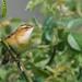 Sedge Warbler (Explored 16-07-17) by redmanian