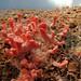 Primórdios de Cogumelos Shimeji Salmão em serragem de pinus, papelão e farelo de trigo - Mushroom - (Pleurotus ostreatus)