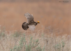 Lesser Prairie Chicken in flight