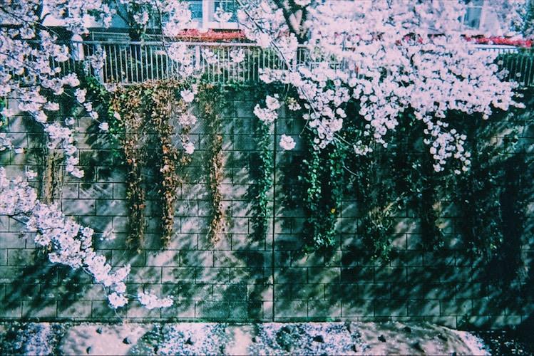 桜_写ルンです