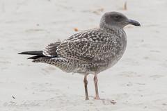 Western Gull - Juvenile - July