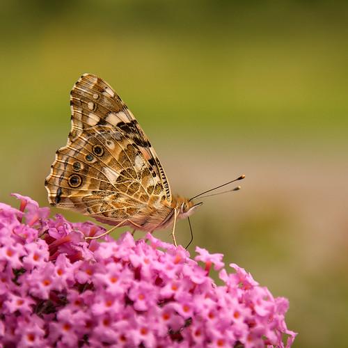 Vlinder op vlinderstruik