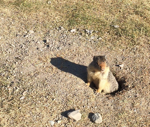 little groundhog