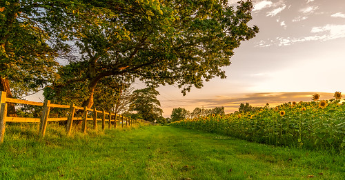 england unitedkingdom gb trees sunset birds powerlines sony ilce7rm2 sel2470gmsyxlens catandfiddle farm farmland pyo sunflowers track green grass hants britishsummer summertime summer flowers sunny light hinton anthonywhitesphotography a7r