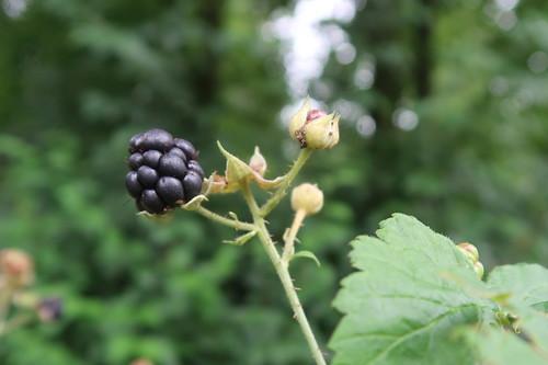 Brombeere (reif und roh genießbar) auf dem Poppenhausener Früchtepfad
