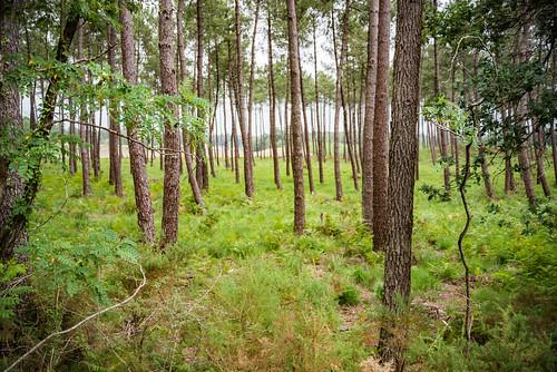 01-Forêt de pins