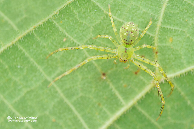 Crab spider (Epidius sp.) - DSC_7385
