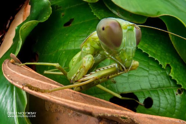 Mantis (Mantodea) - DSC_7712