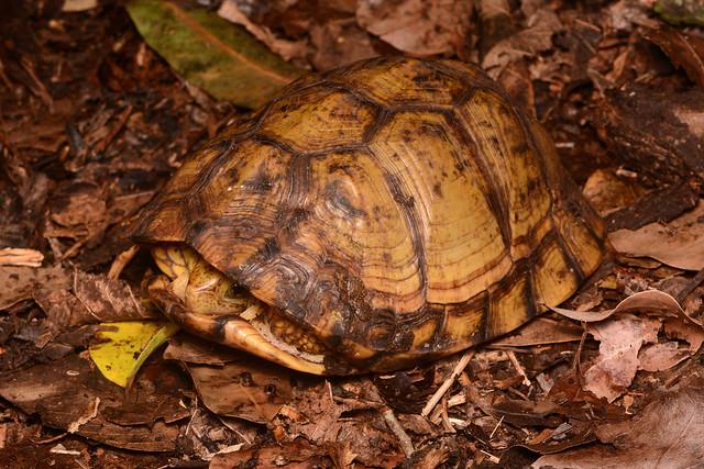 Yucatán Box Turtle
