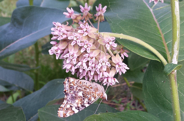 side view of butterfly facing right underneath a pale-pink cluster, nearly blending in with the flower color