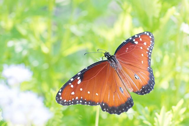 Queen butterfly, Nikon D800E, AF-S DX Zoom-Nikkor 18-55mm f/3.5-5.6G ED II