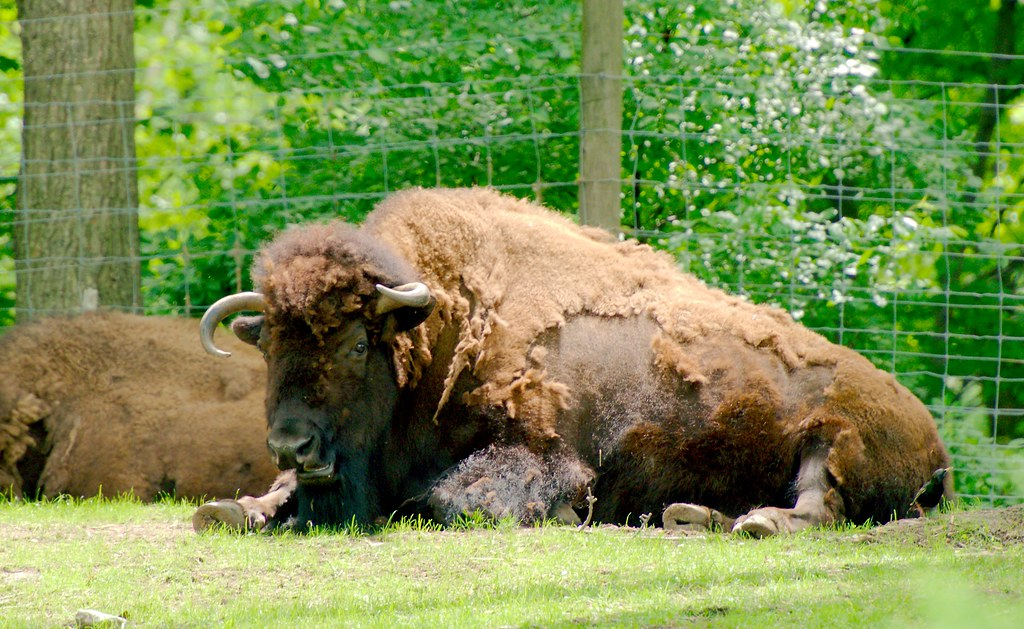 American Bison_2