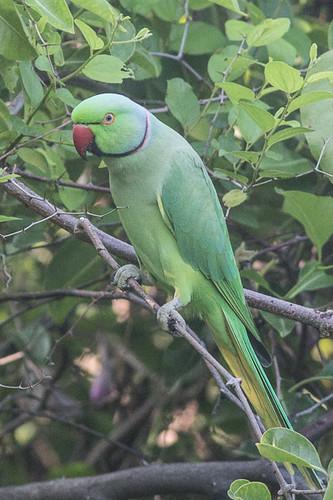 Rose-ringed Parakeet. male