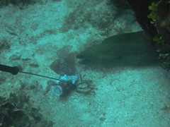 Eel Taking Lion Fish Bait (6)