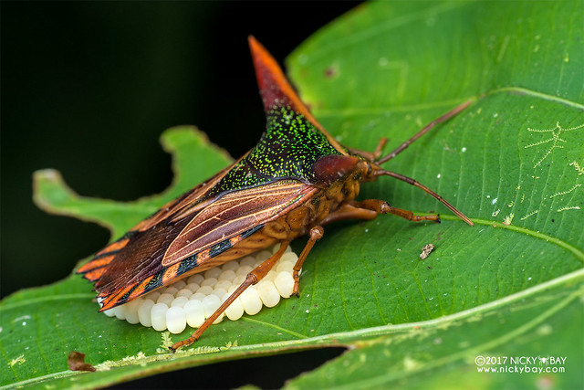 Giant shield bug (Pygoplatys lancifer) - DSC_7048