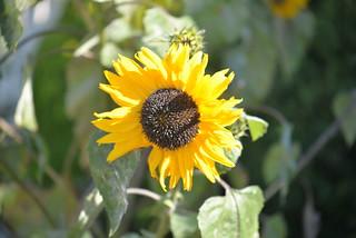 Sunflower 1046 8-28-16