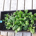 spinach planting in The Deck by shiny