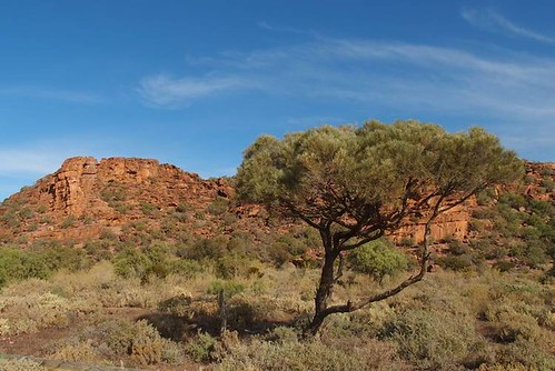 Western Myall at Wild Dog Hill, Whyalla Conservation Park