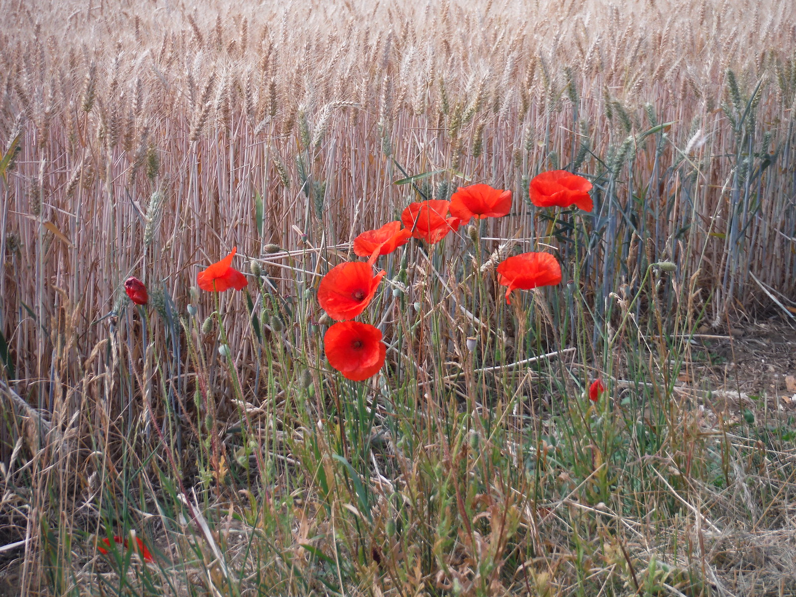 Poppies on field verge SWC Walk 233 - Arlesey to Letchworth Garden City