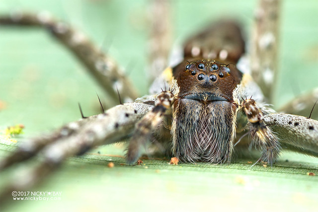 Fishing spider (Nilus sp.) - DSC_7190