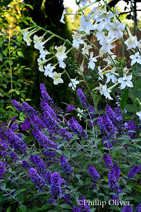 Buddleia 'Blue Chip' and Nicotiana