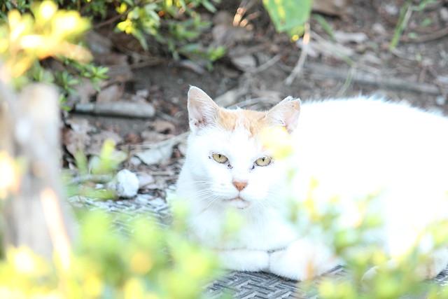 野良猫, Canon EOS KISS X4, Canon EF-S 55-250mm f/4-5.6 IS