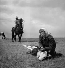 A man and a woman rope a calf at Eugene Burton's V-Bar-T cattle ranch, Medicine Hat, Alberta / Un homme et une femme prennent un veau au lasso à l'exploitation bovine V Bar T d'Eugene Burton, Medicine Hat (Alberta)