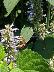 Bee (likely female Anthidium manicatum) on anise hyssop