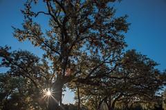 Live Oak - O.P. Schnabel Park - San Antonio - Texas - 29 January 2017