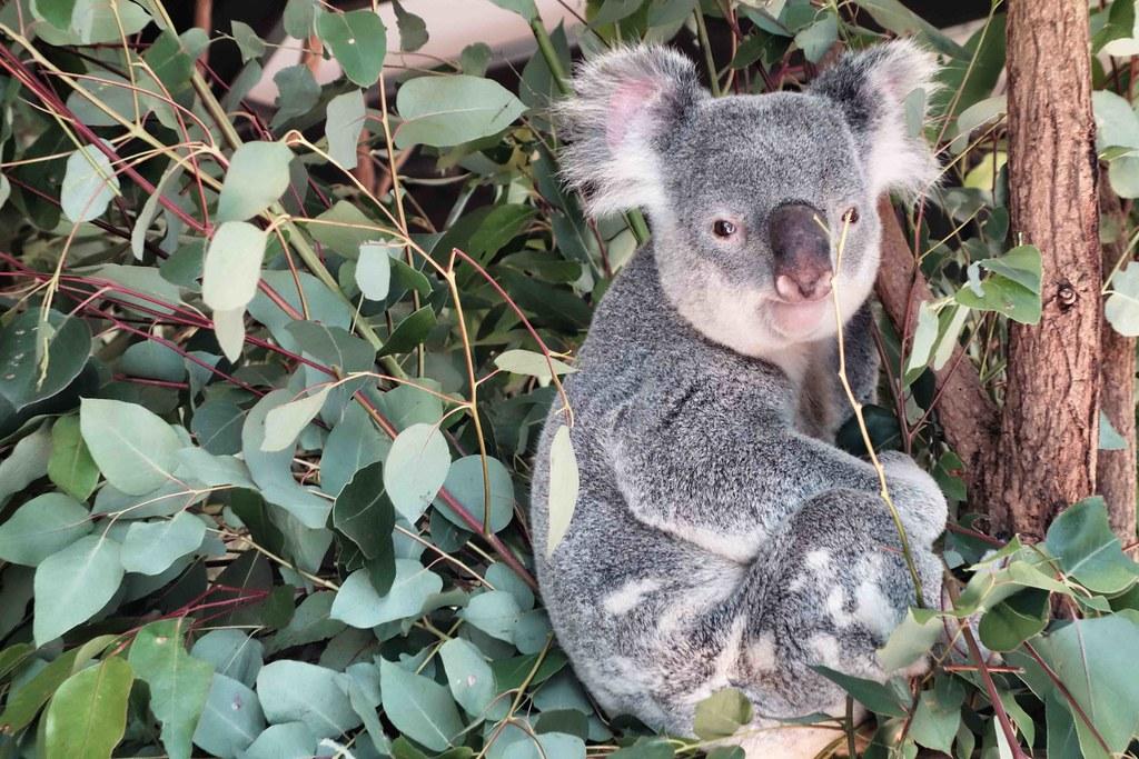 Brisbane - Lone Pine - Koala 2