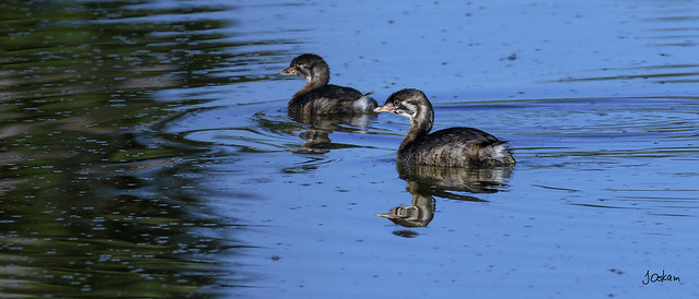 Immature Pied Billed Grebes