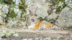 Baillement du Tigre de Sibérie